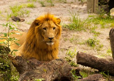 Kulaqua Retreat and Conference Center lion in new habitat zoo sm