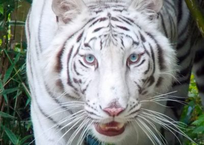 kulaqua florida christian retreat center hope white tiger