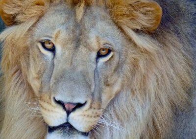 kulaqua florida christian retreat center zoo lion up close