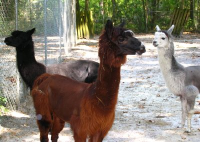 kulaqua zoo alpaca sm