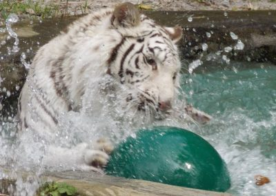kulaqua-zoo-and-nature-center-white-tiger